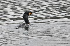 Grand cormoran (Patchok34) Tags: oiseau oiseaux oiseauxdeslacs lac lake lacsaintpoint doubs france franchecomté nikonflickraward nikon nikonfrance d90 sigma150600 nature nationalgeographic sauvage flickraward cormoran