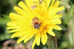 happy bee face! (yaminatori) Tags: bees bijen bee wild solitary andrena nature wildlife dandelion macro