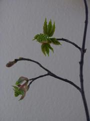 Kastanienzweig mit Knospen (Seesturm) Tags: 2019 seesturm frühling spring kastanie knospe knospen zweig zweige natur baum holz blätter
