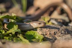 Le fragile (Eric Penet) Tags: wildlife wild france faune nature animal sauvage avesnois nord avril printemps spring reptile orvet deaf adder slowworm