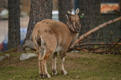 Turkmenian Markhor (Capra falconeri heptneri) (CoasterMadMatt) Tags: highlandwildlifepark2018 highlandwildlifepark highland wildlifepark wildlife park zoo zoos zoologicalgardens animalparks animalpark animal parks scottishzoos zoosinscotland enclosure enclosures animalenclosures animals exhibit exhibits turkmenianmarkhor turkmenian markhor caprafalconeriheptneri capra falconeri heptneri kingussie kineussie invernessshire scottishhighlands scottish highlands scotland alba britain greatbritain unitedkingdom gb uk europe december2018 autumn2018 december autumn 2018 coastermadmattphotography coastermadmatt photos photographs photography nikond3200