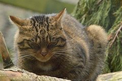 Scottish Wildcat (CoasterMadMatt) Tags: highlandwildlifepark2018 highlandwildlifepark highland wildlifepark wildlife park zoo zoos zoologicalgardens animalparks animalpark animal parks scottishzoos zoosinscotland enclosure enclosures animalenclosures animals exhibit exhibits wildcat scottishwildcat catfiadhaich felissilvestris felis silvestris cat cats kingussie kineussie invernessshire scottishhighlands scottish highlands scotland alba britain greatbritain unitedkingdom gb uk europe december2018 autumn2018 december autumn 2018 coastermadmattphotography coastermadmatt photos photographs photography nikond3200
