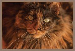 DSC04679 Easy Portrait (Olpo2vin) Tags: cat chat yeux eyes regard look félin feline olpo easy poils fourrure redessan 30129 animaldecompagnie vibrisses