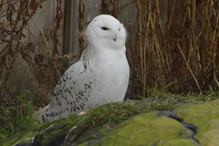 Snowy Owl (CoasterMadMatt) Tags: highlandwildlifepark2018 highlandwildlifepark highland wildlifepark wildlife park zoo zoos zoologicalgardens animalparks animalpark animal parks scottishzoos zoosinscotland enclosure enclosures animalenclosures animals exhibit exhibits snowyowl snowy owl buboscandiacus bubo scandiacus kingussie kineussie invernessshire scottishhighlands scottish highlands scotland alba britain greatbritain unitedkingdom gb uk europe december2018 autumn2018 december autumn 2018 coastermadmattphotography coastermadmatt photos photographs photography nikond3200
