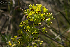 TARTAGO COMUN (Asomados al Mundo) Tags: alpujarra alpujarras flor flores plantas capileira