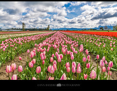 Chilliwack Tulip Fest near Vancouver, BC, Canada (Ann Badjura Photography) Tags: chilliwack chilliwacktulipfestival vancouver bc britishcolumbia beautifulbritishcolumbia canada tulips spring daffodils hyacinths vancitybuzz vancity insidevancouver 604now miss604 fields bulbs clouds colourfulvancouver 24hrvancouver photonewsgallery tulipsofthevalley ctvphotos annbadjura pacificnorthwest pnw fraservalley flower sky photography georgiastraight iamcanadian canadianbeauty