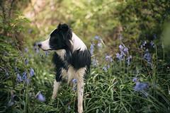 18-04-2019 - Indiana (Animographe) Tags: animographe photographe animaux de compagnie chien la roche sur yon vendée