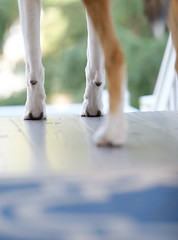 Feet (kecotting) Tags: collie dog feet legs outdoors porch spring springtime canine animal pet fujifilm xt2 bright airy smoothcollie rescuedog littledoglaughedstories