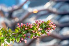 Web High Line flowering tree & The Vessel (mtschappat@verizon.net) Tags: nyc high line hudson yards the vessel a6500