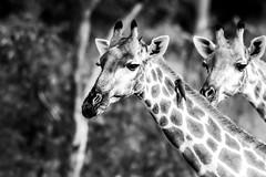 Hwange, Zimbabwe (ravalli1) Tags: zimbabwe hwange africa giraffes wildlife animals blackandwhite nature somalisa africanbushcamps photography nikon