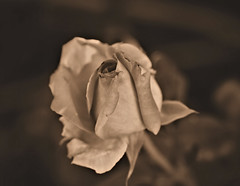 Project 365 - 4/18/2019 - 108/365 (cathy.scola) Tags: project365 rose flower sepia