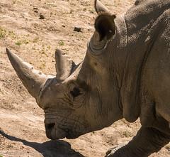 SafariWest-_DSC1513 (Vamsi K) Tags: california nature safari wildlife google santarosa ca usa