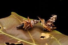 Pagoda bagworms from Ecuador (Ecuador Megadiverso) Tags: pagoda bagworm caterpillar casemoth psychidae ecuador andreaskay