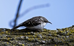 DSC_4697 (Chi Ken Yeung) Tags: browncreeper humberbaypark nikond500 tamronsp150600mmf563divcusdg2