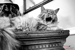 Yawning Oliver (1300 Photography) Tags: nikon z6 20mm affinity affinityphoto cat cats feline pet pets petportrait blackandwhite blackwhite
