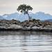 One Tree in Aspevagen Bay