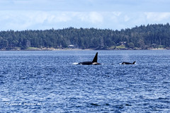 040919 Transient Orca Pair (wildcatlou) Tags: spring washington outdoors april sanjuanislands nature wildlife whale killerwhale orca transientpod water pugetsound