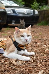 happy boy (rootcrop54) Tags: otis dilute orange ginger tabby male cat camille onaleash tiger striped print vest content neko macska kedi 猫 kočka kissa γάτα köttur kucing gatto 고양이 kaķis katė katt katze katzen kot кошка mačka gatos maček kitteh chat ネコ