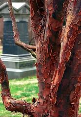 "Cincinnati - Spring Grove Cemetery & Arboretum ""Paperbark Maple Tree"" (David Paul Ohmer) Tags: cincinnati ohio spring grove cemetery arboretum paperbark maple tree"