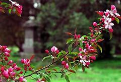 "Cincinnati - Spring Grove Cemetery & Arboretum ""Red Crabapple Twig"" (David Paul Ohmer) Tags: cincinnati ohio spring grove cemetery arboretum red crabapple twig"