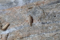 Photo of Bryotropha terrella, Tenstmuir, Fife, Scotland