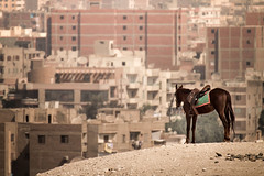 Horse, Giza, Egypt (pas le matin) Tags: horse travel voyage cheval city ville cityscape giza gizeh background bokeh buildings bâtiments egypt égypte afrique africa canon 7d canon7d canoneos7d eos7d cairo lecaire