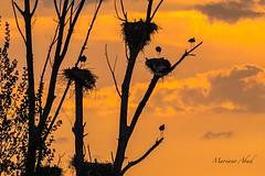 Cigüeñas. Atardecer en Daimiel (marianoabad1) Tags: cigüeña ciconiaciconia nidos daimiel atardecer mc14 mzuiko300mmf4pro mzuiko omdem1markii olympus fotografíadeaves birdwatching birding birds aves fotografíadenaturaleza naturaleza nature naturephotography