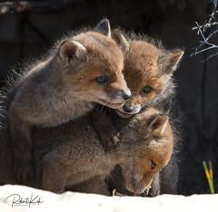 Playful young Red Fox pups! (Jambo53 ()) Tags: redfox vulpesvulpes rodevos netherlands coastalarea duingebied crobertkok renardroux nikond800 portrait portret mammal 500mmf4