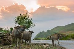 _J5K1160.0514.Y Tí.Bát Xát.Lào Cai.psd. (hoanglongphoto) Tags: asia asian vietnam northvietnam northeastvietnam northernvietnam landscape scenery vietnamlandscape vietnamscenery sunset sky clouds buffalo buffalos three road animal nature roadpics canon canoneos1dsmarkiii đôngbắc làocai bátxát ytí phongcảnh hoànghôn thiênnhiên bầutrời mây conđường xúcvật contrâu đàntrâu hoànghônvùngnúi hoànghôntâybắc zeissdistagont235ze happyplanet asiafavorites