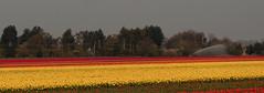 Norfolk tulip field (yvonnepay615) Tags: panasonic lumix gh4 tulips norfolk eastanglia uk