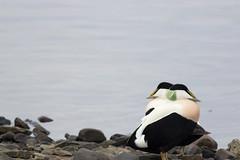 The Lookout (craig.denford) Tags: eider duck kirkjufell snæfellsnes peninsula grundarfjörður west iceland craig denford wildlife