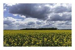 Rapeseed Field (alamond) Tags: rapeseed brassicanapus oilseed field agriculture clouds sky storm yellow canon 7d markii mkii llens ef 1740 f4 l usm alamond brane zalar