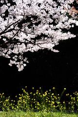 桜 #6ーCherry Blossoms #6 (kurumaebi) Tags: yamaguchi 秋穂 nikon d750 nature 山口市 landscape 桜 cherry cherryblossom 菜の花 canola spring 春