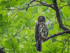 Brown hawk-owl/খয়রা শিকরে প্যাঁচা (pinhole-photography) Tags: owl birdsofbangladesh nature wildlife