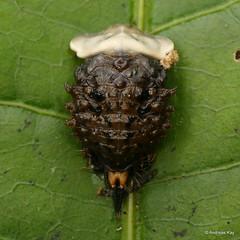 Tortoise beetle pupa, Cyrtonota serinus? Cassidinae, Mesomphaliini (Ecuador Megadiverso) Tags: andreaskay beetle cassidinae chrysomelidae coleoptera ecuador jardinbotanicolasorquideas pupa tortoisebeetle cyrtonotaserinus mesomphaliini