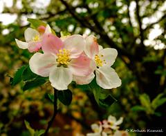DSCF0125.jpg (DrOpMaN®) Tags: flowersplants fuji x100t fujinon fujinonsuperebc23mmf2asph lightroomclassiccc fujifilm m43turkiye
