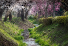 Soft creak run (kellypettit) Tags: creek sakura cherrytree stream light colour color zigzag s pink spring life green japan gunma