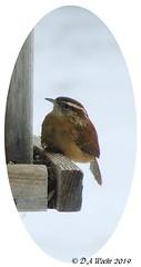 Carolina Wren (Picsnapper1212) Tags: carolinawren wren bird animal nature winter feeder backyard lebanon ohio