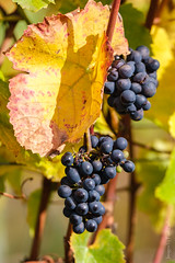 The promise of tomorrow (PaulBalfe) Tags: bunches newzealand vines grapes martinborough margrainvineyard