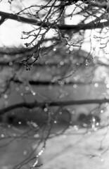 After the Rain (squirtiesdad) Tags: raindrops mulberry tree morning sun selfdeveloped selfscanned vivitar 220sl super takumar 55mm f18 epson v600 monochrome blackandwhite bw bn bwfp analog analogue arista iso100 35mm film