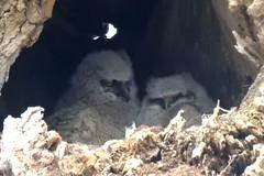 Great Horned Owlets, Bubo virginianus  (3) (Herman Giethoorn) Tags: greathornedowl owls owlets raptors birds