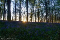 Sonnenaufgang bei den Hasenglöckchen (monforklick) Tags: hasenglöckchen bluebells wald doveren sonnenaufgang