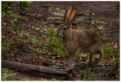 Scrub hare, Lepus saxatilis (Don Chisciotte89) Tags: hare lepre mammal rabbit wildlife hogsback africa sudafrica spring