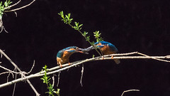 2_DS5157-1 (Invincible Moose) Tags: kingfisher males female fishing nest pair kingfisherpair