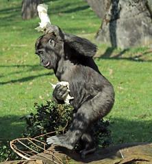 western lowlandgorilla Burgerszoo 094A1183 (j.a.kok) Tags: aap animal africa afrika ape mammal monkey mensaap primate primaat zoogdier dier gorilla westelijkelaaglandgorilla westernlowlandgorilla lowlandgorilla laaglandgorilla burgerszoo