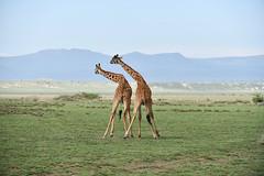 Giraffe (Robert Styppa) Tags: tanzania nikon nikond850 robertstyppa africa wildlife serengeti ngorongoro giraffe