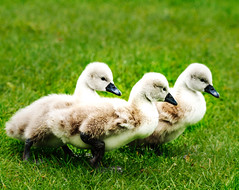 Happy Easter Extraordinary  Flickr Fans (peggy wein) Tags: trio grass chicks feathers duck
