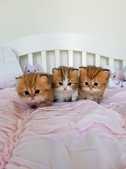 Happy Friday! (dollfacepersiankittens.com) Tags: persian kittens for sale doll face trisha johnson cattery animal animals kitten cat pets pet feline