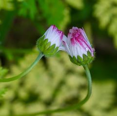 Wild and Sweet. (Omygodtom) Tags: sweet wildflower wild clover meadow tamron tamron90mm macro bokeh dof digital diamond d7100