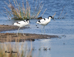 Avocets (Bryn Jones Bootle) Tags: avocet birds nature wildlife